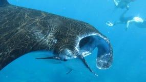 Manty stingray w manta punktu pikowania miejscu w oceanie indyjskim zdjęcie stock