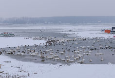 Manu härligt fågelbad i den djupfrysta floden Royaltyfri Fotografi