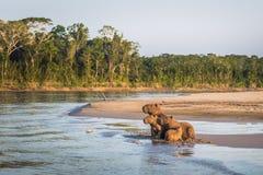 Manu National Park, Peru - 6 de agosto de 2017: Família do Capybara a imagens de stock royalty free
