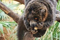 Manual brown lemur eating banana sitting on a tree.  stock images