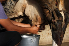 Manual cow milking. Farmer manual cow milking inside cowshed royalty free stock images