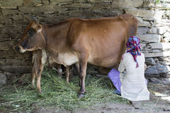 Manual cow milking. Himachali woman milking a cow in Shimla, Himachal Pradesh, India Royalty Free Stock Images