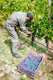 Manual grape harvest Royalty Free Stock Photos