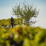 Manual harvesting in the Bordeaux vineyard stock photos