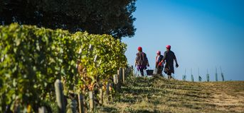 Manual harvesting in the Bordeaux vineyard royalty free stock photo