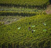 Manual harvesting in the Bordeaux vineyard royalty free stock photography