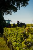 Manual harvesting in the Bordeaux vineyard stock photo