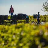 Manual harvesting in the Bordeaux vineyard royalty free stock image