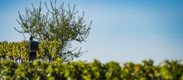 Manual harvesting in the Bordeaux vineyard royalty free stock photos