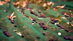 Manual harvesting of olives. Stock Photo