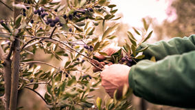 Manual harvesting of olives. Stock Images