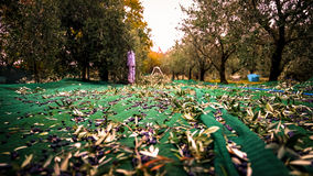 Manual harvesting of olives. Royalty Free Stock Images