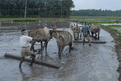 Manual ploughing of agriculture land with bullocks. Nov 23, 2014. agriculture land is being made ready by ploughing with bullocks with the help of a man.the land Stock Photo
