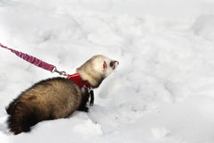 Manual polecat Stock Image