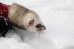 Manual polecat walks Royalty Free Stock Images