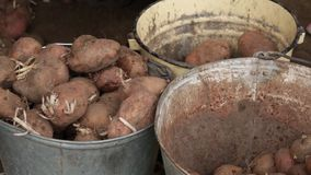 Manual sorting of potato seeds with sprouts in buckets, depending on size. stock video
