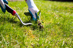 Manual weed conrol. A garden gloved hand manually pulls a weed from the grass with the help of a weed pulling tool Royalty Free Stock Photo
