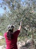 Manualmente prendere le olive fotografie stock libere da diritti