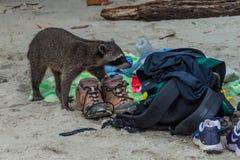 MANUEL ANTONIO, COSTA RICA - MAY 13, 2016: Crab-eating raccoon Procyon cancrivorus steals a food from tourists in. National Park Manuel Antonio, Costa Rica stock photo