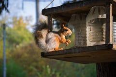 Manuelles Eichhörnchen Lizenzfreies Stockbild