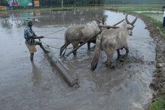 Manuelles Pflügen des Landwirtschaftslandes mit Ochsen Stockfotografie