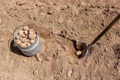 Manuelles Pflanzen von Kartoffeln lizenzfreies stockfoto