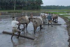 Manuellt plöja av åkerbrukt land med oxar Arkivfoto