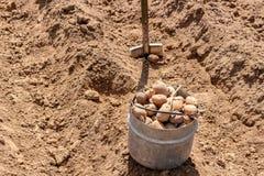 Manuellt plantera av potatisar royaltyfria bilder