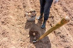 Manuellt plantera av potatisar fotografering för bildbyråer