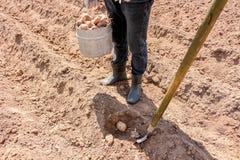Manuellt plantera av potatisar royaltyfria foton