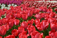 Manufacture of growing flowers. Big plantation of red tulips on sunny day in spring. Beautiful natural exhibition open space with stock images