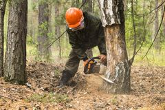 Forest inspectors work in the forest. Manufacture of the index of the direction of sanitary felling of wood in the Siberian taiga by a chainsaw. Man cuts tree Stock Photos