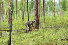 Forest inspectors work in the forest. Manufacture of the index of the direction of sanitary felling of wood in the Siberian taiga by a chainsaw. Man cuts tree Royalty Free Stock Photography