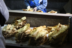 Manufacture of tobacco Stock Photo