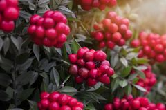 Manufacturer of Christmas plant decor. Christmas wreath for the holiday stock images