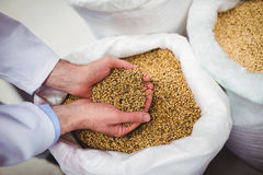 Manufacturer holding barley at brewery Stock Photography