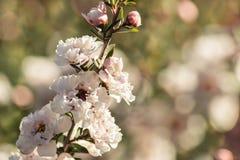 Manuka有白花和芽的树枝杈 库存图片