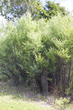 Manuka树 库存图片