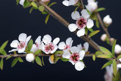 Manuka blommor royaltyfri fotografi
