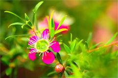 Manuka-Blume lizenzfreie stockbilder