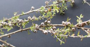 A Manuka Branch with Seed Pods Still Life stock photos