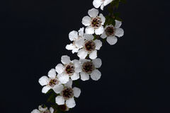 Manuka flowers Stock Images