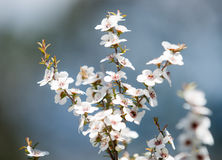 Manuka flowers Stock Photography