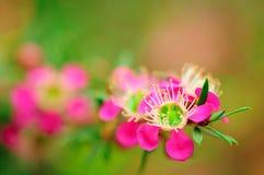 Manuka kwiat Zdjęcia Stock