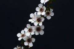 Manuka kwiaty obrazy stock