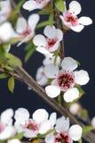 Manuka kwiaty Obraz Royalty Free
