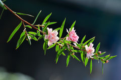 Manuka myrtle(leptospermum scoparium) Stock Photography