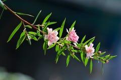 Manuka myrtle(leptospermum scoparium). The blooming manuka myrtle(leptospermum scoparium),  native to New Zealand and southeast Australia Stock Photography