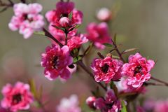 Manuka Tea-tree. 、Broom Teatree.Leptospermum scoparium J. R. Forst. et G. Forst Stock Images