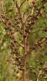 Manuka-Tee-Baum Stockbild